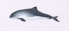 Click to see details of Harbour or common porpoise (Phocoena phocoena)
