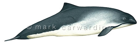 Harbour or common porpoise (Phocoena phocoena)