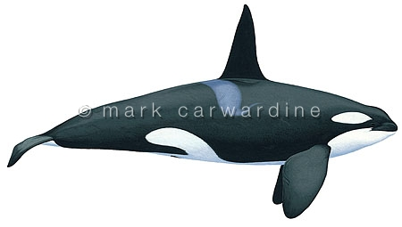 Killer whale or orca (Orcinus orca) - male