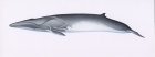 Click to see details of Fin whale (Balaenoptera physalus) - from left