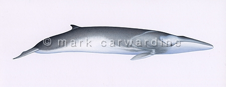 Fin whale (Balaenoptera physalus) - from right