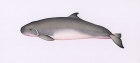 Click to see details of Dwarf sperm whale (Kogia sima) - male