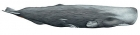 Click to see details of Sperm whale (Physeter macrocephalus) - female