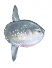 Click to see details of Ocean sunfish (Mola mola)