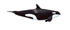 Click to see details of Killer whale or orca (Orcinus orca) - female