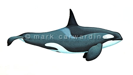 Antarctic killer whale - Type C (Orcinus orca) - male