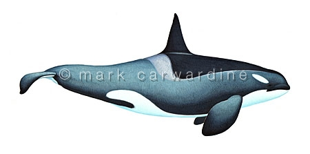 Antarctic killer whale - Type B (Orcinus orca) - male