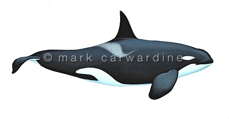 Antarctic killer whale - Type A (Orcinus orca) - male