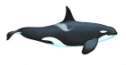 Click to see details of Antarctic killer whale - Type A (Orcinus orca) - male