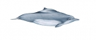 Click to see details of Atlantic hump-backed dolphin (Sousa teuszii)