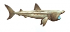 Click to see details of Basking shark (Cetorhinus maximus)