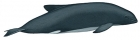 Click to see details of Burmeister's porpoise (Phocoena spinipinnis)