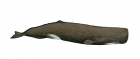 Click to see details of Sperm whale (Physeter macrocephalus) - male