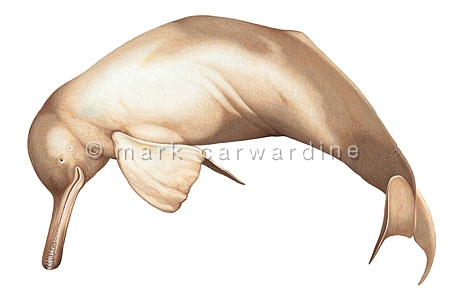 Ganges river dolphin (Platanista gangetica)