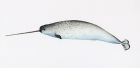 Click to see details of Narwhal (Monodon monoceros) - adult male