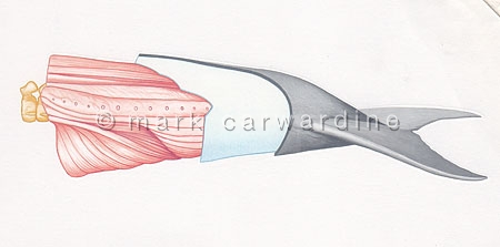 Cross section of a cetacean