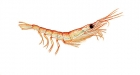 Click to see details of Antarctic krill (Euphausia superba)