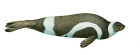Click to see details of Ribbon seal (Histriophoca fasciata)