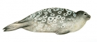 Click to see details of Ringed seal (Pusa hispida)