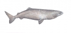 Click to see details of Greenland shark (Somniosus microcephalus)