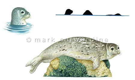 Common seal (Phoca vitulina) - full body & surface profile