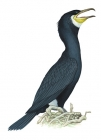 Click to see details of Great cormorant (Phalacrocorax carbo)