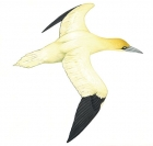 Click to see details of Gannet (Morus bassanus)