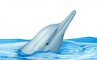 Click to see details of Indo-Pacific hump-backed dolphin (Sousa chinensis)