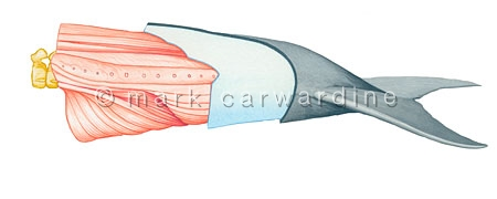 Cetacean tail structure