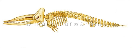 Sperm whale (Physeter macrocephalus) - skeleton