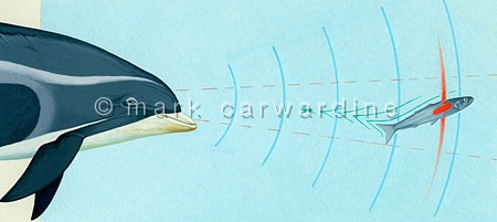 Cetacean hunting prey using echolocation