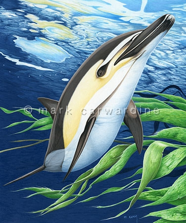 Common dolphin (Delphinus sp)