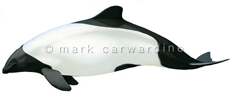 Commerson's dolphin (Cephalorhynchus commersonii)