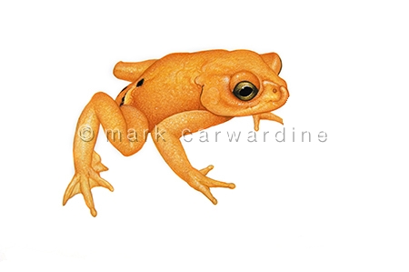 Golden toad (Bufo periglenes) - extinct