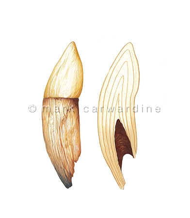 Cross section of cetacean tooth to show growth rings