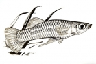 Click to see details of Mosquitofish (Gambusia affinis) male
