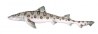 Click to see details of Leopard shark (Triakis semifasciata)