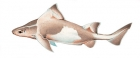 Click to see details of Angular roughshark (Oxynotus centrina)