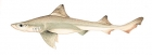 Click to see details of Starry smooth-hound (Mustelus asterias)