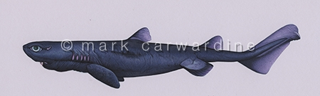 Kitefin Shark or Seal Shark (Dalatias licha)