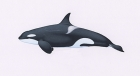 Click to see details of Killer whale or orca (Orcinus orca) Type 1 Eastern North Atlantic - adult female