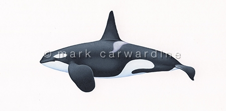 Killer whale or orca (Orcinus orca) Killer whale Type 1 Eastern North Atlantic -