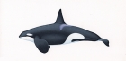 Click to see details of Killer whale or orca (Orcinus orca) Killer whale Type 2 Eastern North Atlantic -