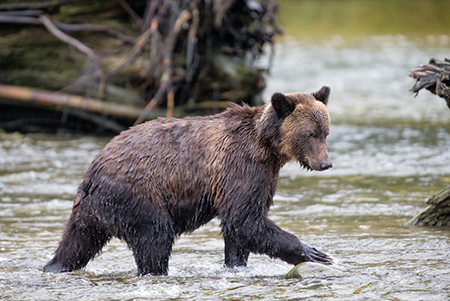 Festival of Bears, Great Bear Rainforest in British Columbia, Canada