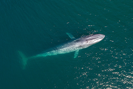 blue whale from above from Last Chance to See