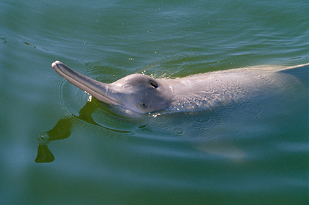 Yangtze river dolphin from Last Chance to See