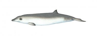 Image of Andrews' beaked whale (Mesoplodon bowdoini) - Calf; one of the least known of the world's cetaceans