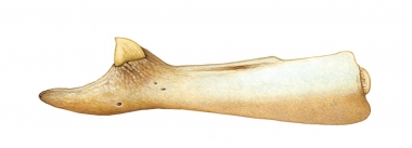 Image of Andrews' beaked whale (Mesoplodon bowdoini) - Lower jaw and tooth; one of the least known of the world's cetaceans