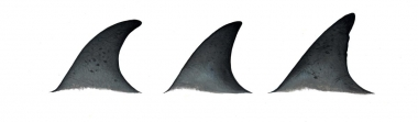 Image of Atlantic spotted dolphin (Stenella frontalis) - Dorsal fin variations