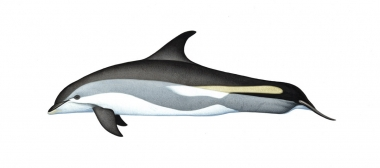Image of Atlantic white-sided dolphin (Lagenorhynchus acutus) - Adult